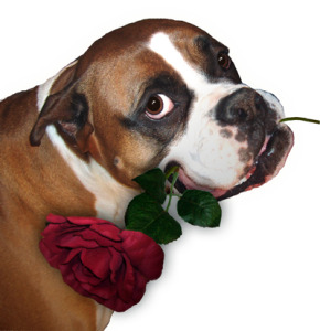 boxer holding rose thanking you for visiting south bay puppy dog training