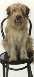 dog on chair - caryl wolff website dog seminars directory